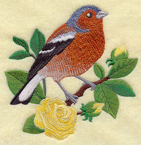 A Chaffinch looks adorable on a bright English tea rose.